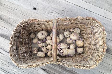 Colletta di patate Turchesche, Pesche (IS) 2015