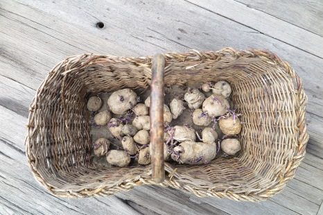 Potato Turchesche Collection, Pesche (IS) 2015