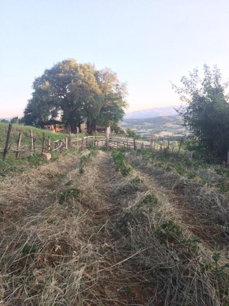Turchesca potato cultivation